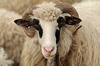 Headshot of a ram with curled horns