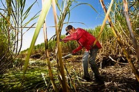 Farmer harvesting sugar canes in a field, Tamasopo, San Luis Potosi, San Luis Potosi State, Mexico