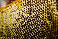 Close_up of a honeycomb, Zacatecas State, Mexico