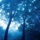 Several Trees in the Forest, the Sun Shining Through, Low Angle View, Soft Focus, Nagano Prefecture, Japan