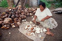 A woman copra worker scooping out coconut kernels before smoking, on Taveuni Island, Fiji, Pacific Islands, Pacific