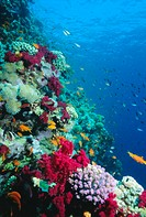 Huge biodiversity in living coral reef, Red Sea, Egypt