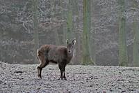 Steinbock, capra ibex, zoo Weilburg, Hesse, Germany