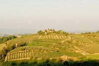 High angle view of a vineyard, Siena Province, Tuscany, Italy