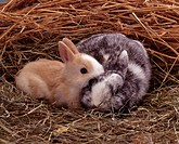 Dwarf Rabbit,