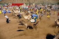 Camel racing, Alice Springs, Northern Territory, Australia, Pacific