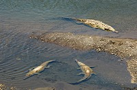 Crocodiles seen from the bridge over the River Tarcoles, near Puntarenas, Costa Rica, Central America
