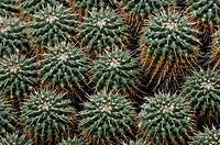 Mammillaria compressa, Mexiko