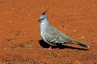 Crested pigeon, Ocyphaps lophotes, Northern Territory, Australia