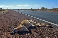 Dead red kangaroo, Macropus rufus, becide the highway, southaustralia, australia