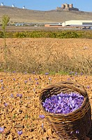 Picked Saffron . Consuegra. Toledo Province. Route of Don Quixote. Castilla-La Mancha. Spain