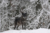 Canadian timber wolf (canis lupus occidentalis) in winter