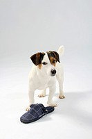 Jack Russell Terrier with slipper