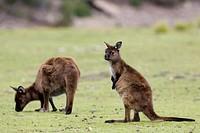 Kangaroo Macropus fuliginosus, Kangaroo Island, South Australia, Australia, Pacific