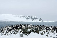 Chinstrap penguins Pygoscelis antarcticus, Half Moon Island, Antarctic Peninsula, Drake Passage, Weddell Sea, Antarctica, Polar Regions