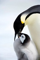 Emperor penguin Aptenodytes forsteri and chick, Snow Hill Island, Weddell Sea, Antarctica, Polar Regions