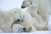 Polar bears Ursus maritimus, Churchill, Hudson Bay, Manitoba, Canada, North America