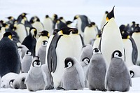 Emperor penguins Aptenodytes forsteri and chicks, Snow Hill Island, Weddell Sea, Antarctica, Polar Regions