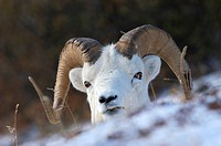 Dall sheep Ovis dalli portrait in snowy landscape Denali Nationalpark Alaska USA