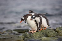 Gentoo penguin Pygoscelis papua adult with two chicks begging for food, Ronge Island, Antarctic Peninsula, Antarctica, Polar Regions