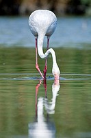 Flamingo (Phoenicopterus roseus) feeding on lagoon