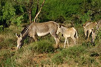 Grevy zebra, Samburu National Reserve, Kenya, East Africa, Africa