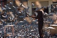 Flock of pigeons at entrance to City Palace, Jaipur, Rajasthan state, India, Asia