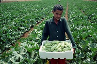 Young farm worker with box of Koosa squash, in a field near Madaba, Jordan, Middle East