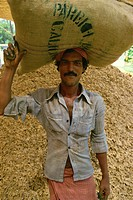 Labourer carries sack of stem ginger, Cochin, Kerala state, India, Asia