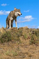 A Gray Wolf lays ontop of a rocky hill to get a better view