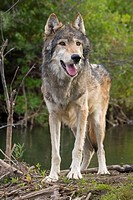 A Gray Wolf looks stands near a river and waits for his pack