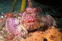 Eastern Atlantic Galicia Spain Brown sea scorpion Scorpaena porcus