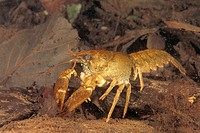 Freshwater Rivers Galicia Spain White-clawed crayfish or Atlantic stream crayfish Austropotamobius pallipes