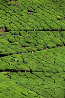 Tea country, Western Ghats near Munnar, Kerala state, India, Asia