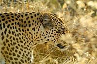 Leopard (Panthera pardus) stalking Portrait