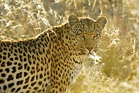 Leopard (Panthera pardus) in the last evening light