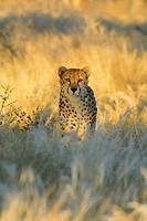 Stalking Cheetah (Acinonyx jubatus) in the first morning light
