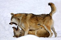 Fighting wolves in winter canis lupus occidentalis