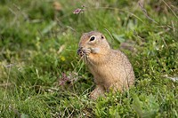 Citellus citellus European ground squirrel