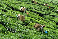 Tea picking, Cameron Highlands, Malaysia, Southeast Asia, Asia
