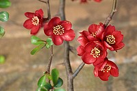 Red flowers of japonica, also known as quince chaenomeles japonica