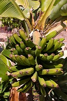 Unripe bananas, Tenerife, Canary Islands, Spain, Europe