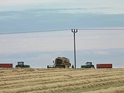 Combine Harvesting In Wheat Field