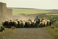 Shepherd with his flock, near Zamora, Castilla Leon, Spain, Europe