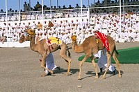 Camel racing, Mudaibi region, Sultanate of Oman, Middle East