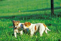 Two Jack_Russel_Terrier whelps