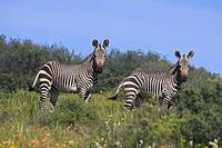 Cape mountain zebra, Equus zebra zebra, in spring flowers in Bushman´s Kloof Reserve, Cedarberg, Western Cape, South Africa, Africa