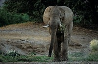 Desert_dwelling elephant, Loxodonta africana africana, Dry River, Hoanib, Kaokoland, Namibia, Africa
