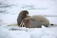 Two walruses Odobenus rosmarus on the ice, Sjuoyane Island, Svalbard Islands, Norway, Scandinavia, Europe