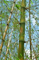 Bamboo, Tobago, West Indies, Caribbean, Central America